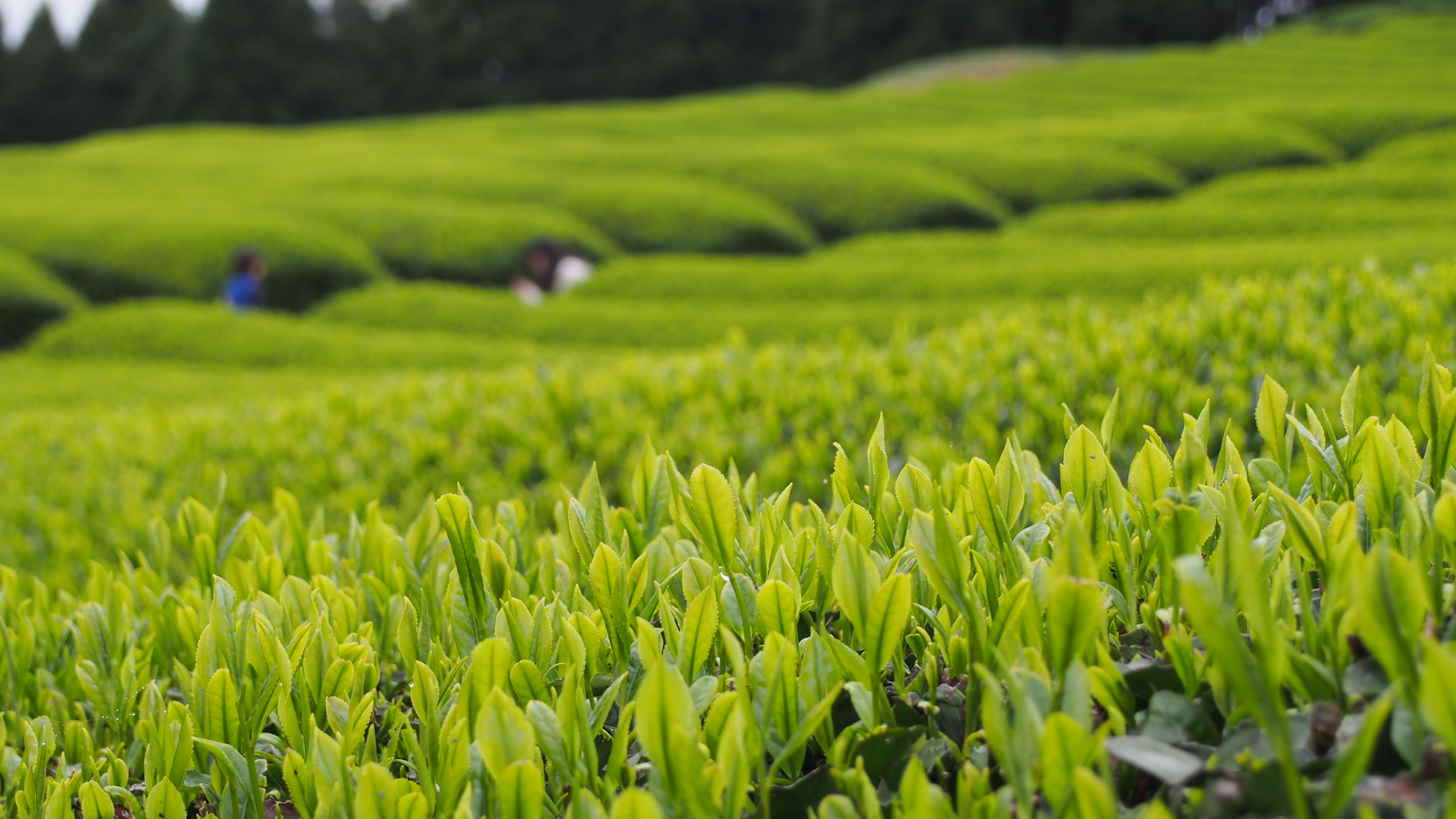 茶畑 抹茶 ほうじ茶 フレンチトースト