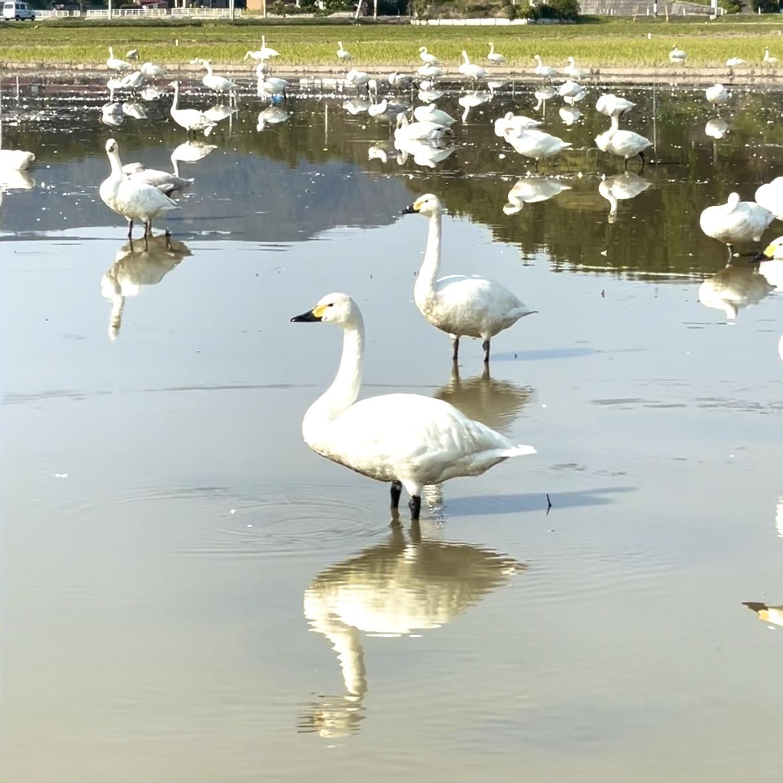 白鳥 飛来 越冬 島根 松江 フレンチトースト せるくる